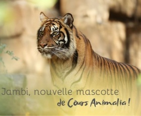 Coryne Sultan, Directrice de Cours Animalia, marraine d'une tigresse !